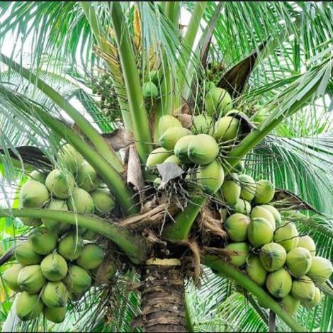 Coconut D x T