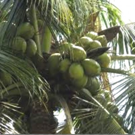 Coconut Keraganga