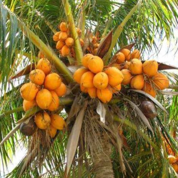Coconut Malayan Orange