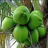 Coconut Malayan Green Dwarf
