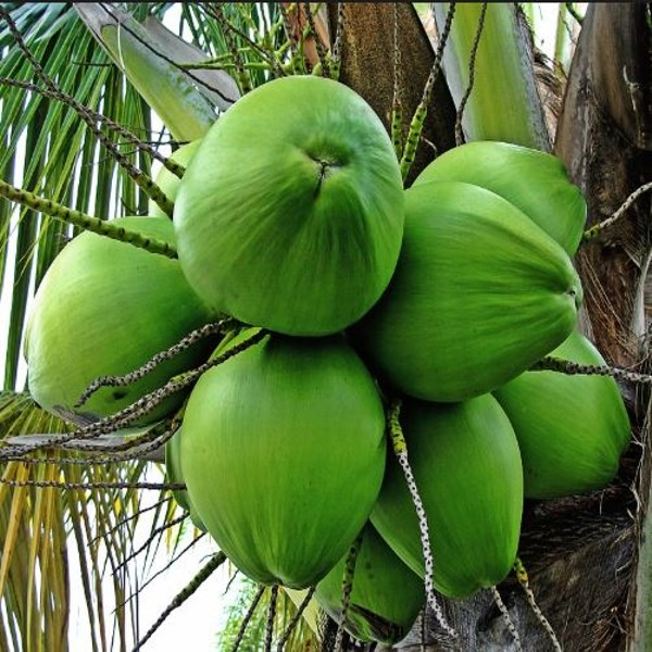 Coconut Malayan Green Dwa...