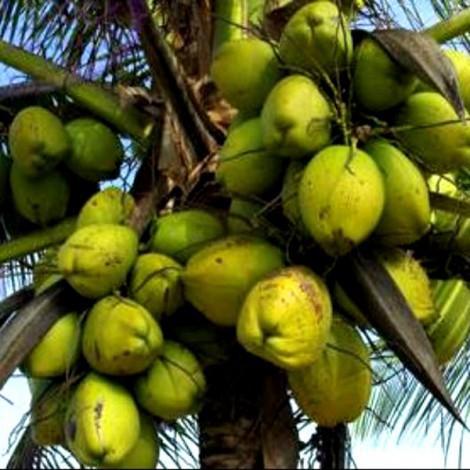 Coconut T x D