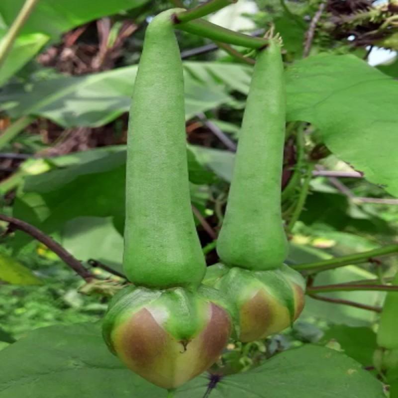 Clove Beans Seeds