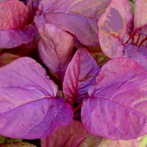 Pattucheera Seeds