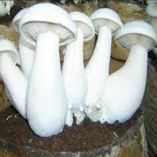 Mushroom Spawn (Milky)