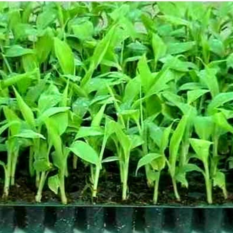 Tissue Culture Plant...