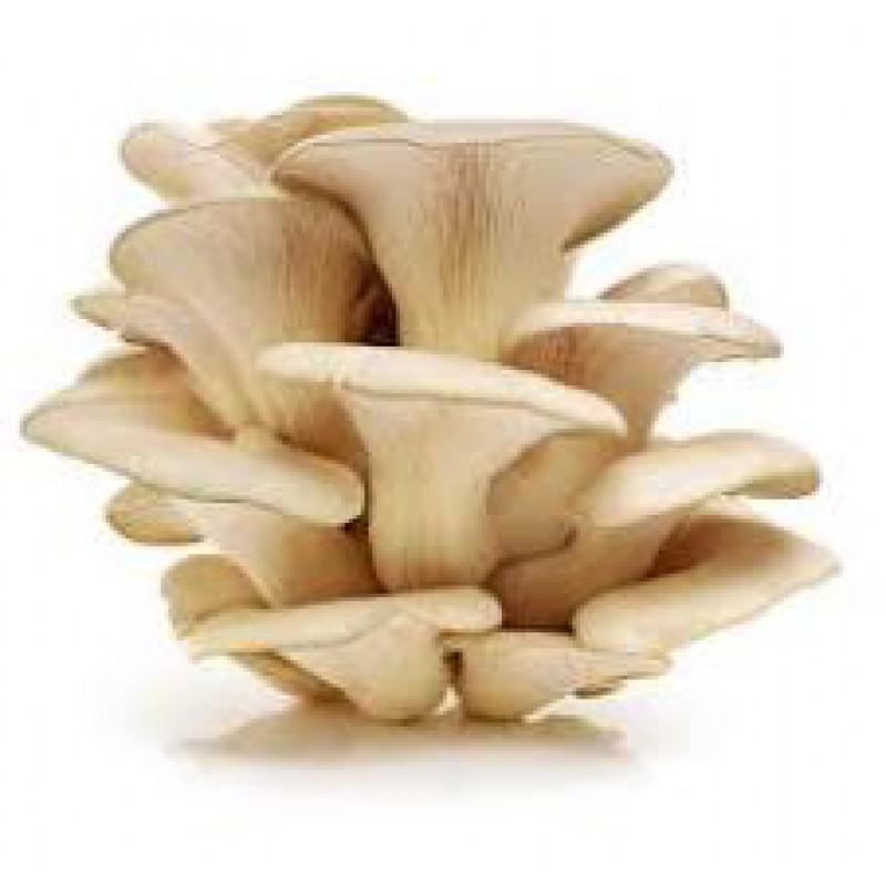Mushroom spawn (Oyst...